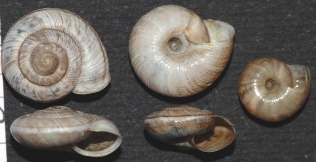 Chilostoma (delphinatia) glacialis