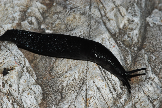 Limax nero delle Apuane (Limax sp 3 della checklist)
