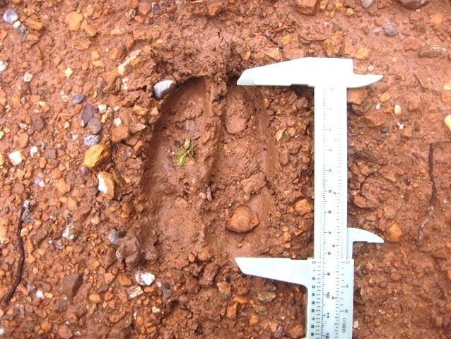 Quiz Impronte di mammiferi!!