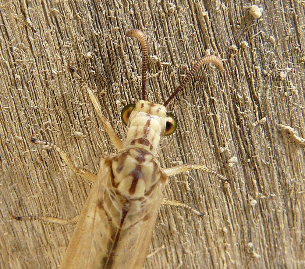 Myrmecaelurus trigrammus