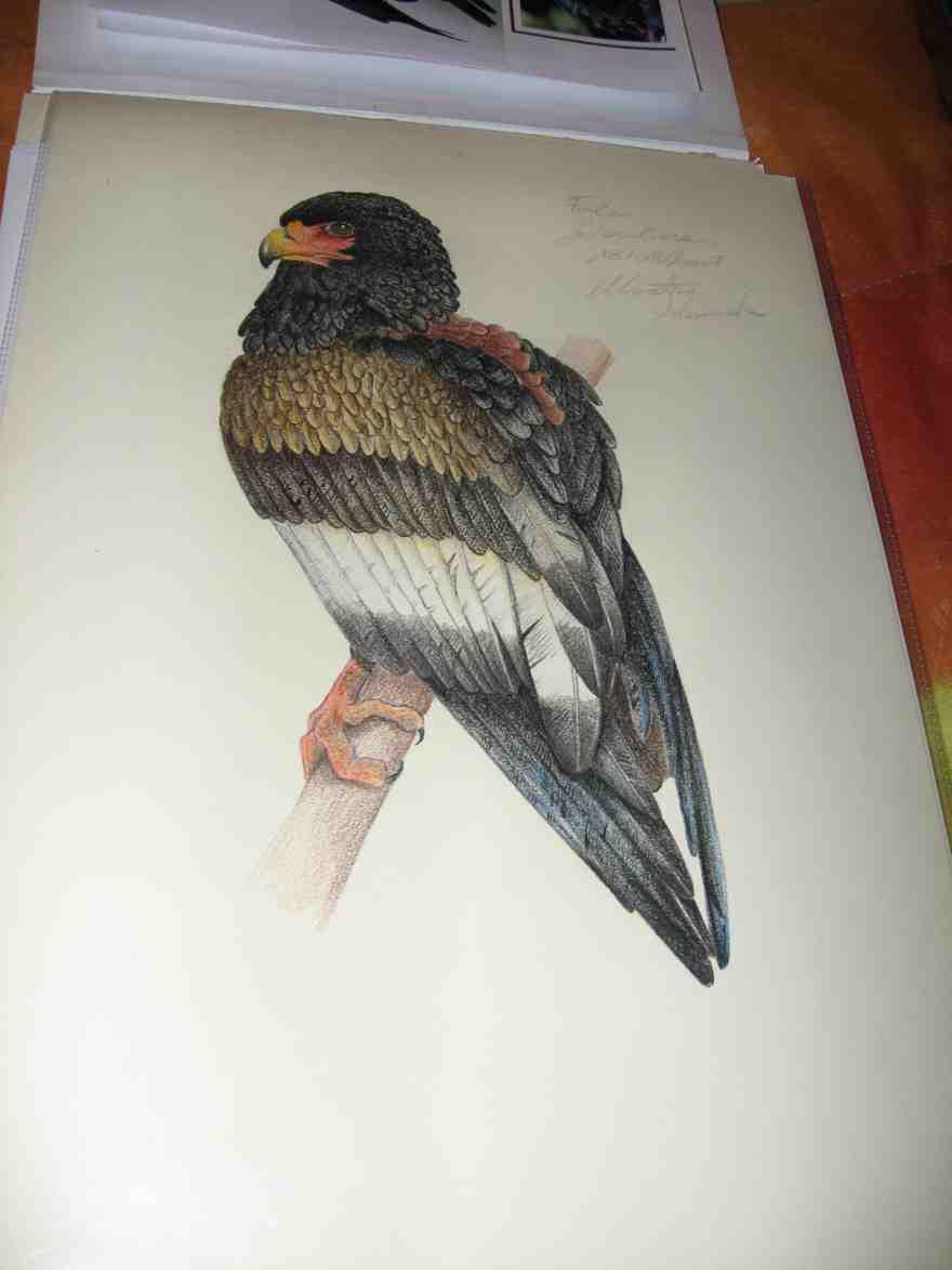 Disegni uccelli forum natura mediterraneo forum - Semplici disegni di uccelli ...