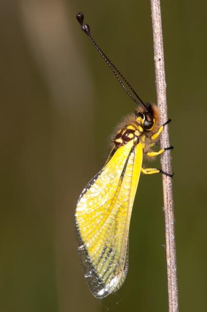 Libelloides latinus (Ascalaphidae)