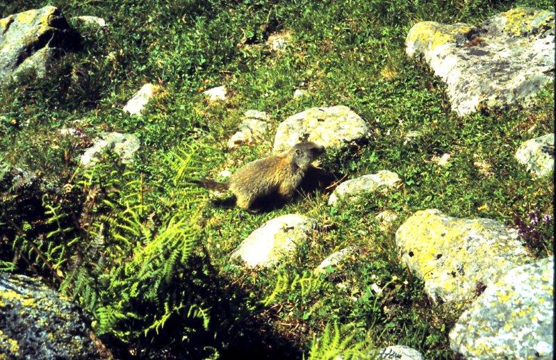 Marmotte, marmotte e ancora marmotte !!!