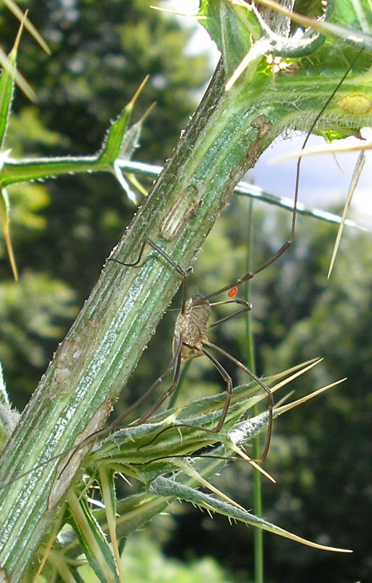 Phalangium opilio parassitato da Leptus della Toscana