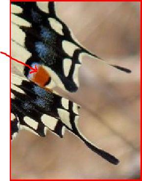 Papilio hospiton e machaon