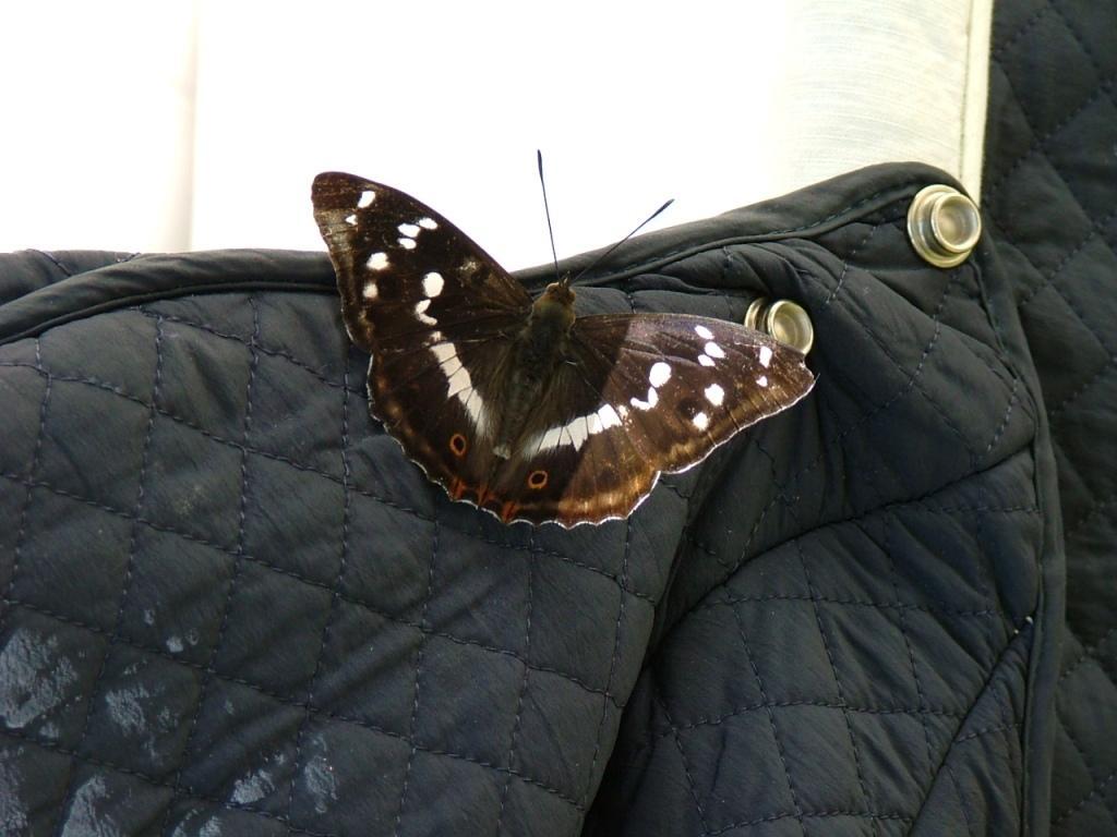 Che farfalla è?