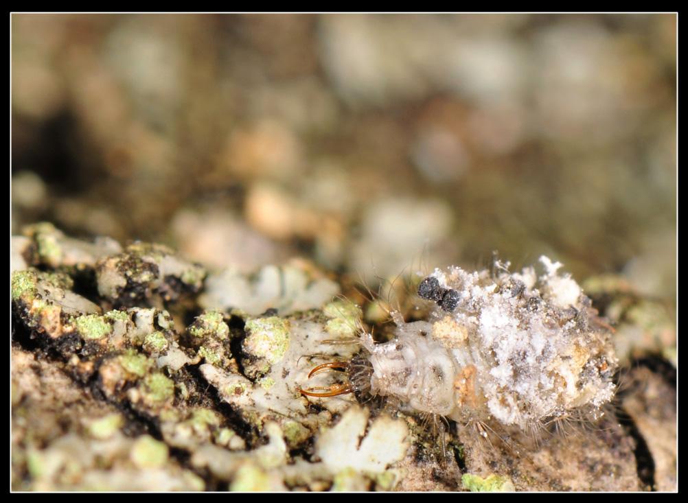 Larva travestita da corteccia (Dichochrysa)