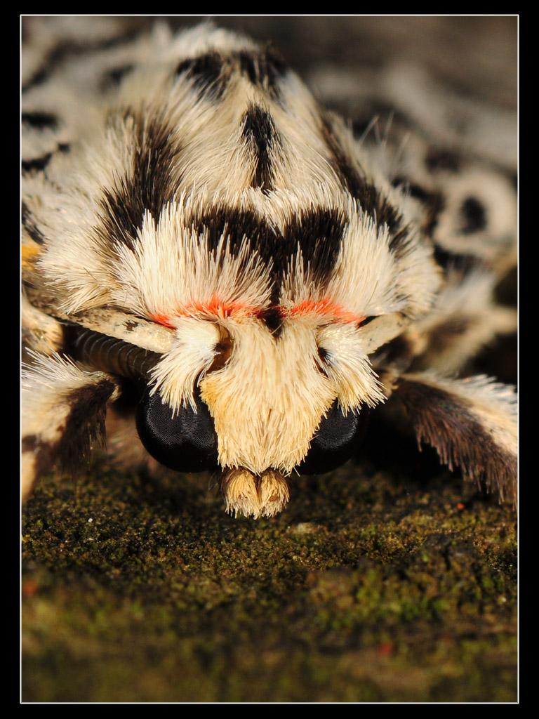 Lymantria monacha (Lymantriidae)