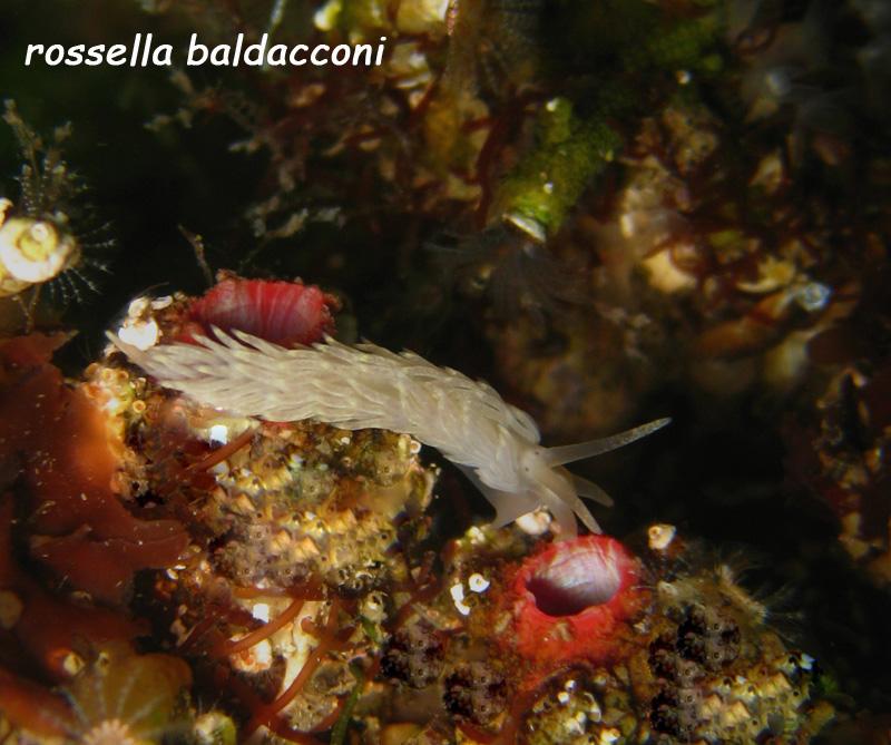 Aeolidiella sp.