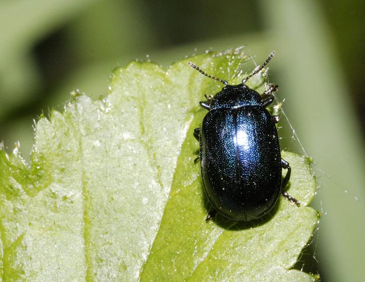 Plagiosterna (= Linaeidea) aenea