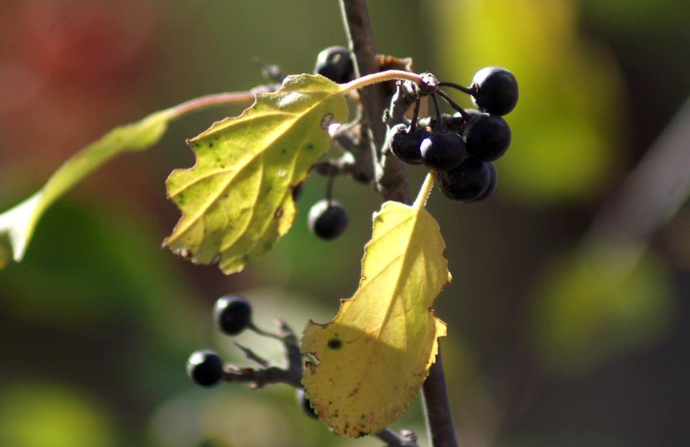 bacche nere - Rhamnus cathartica e Lonicera Xylosteum