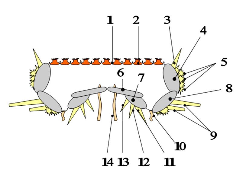 Guida all'identificazione del genere Astropecten