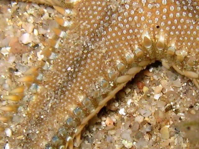 Astropecten platyacanthus (Philippi, 1837)