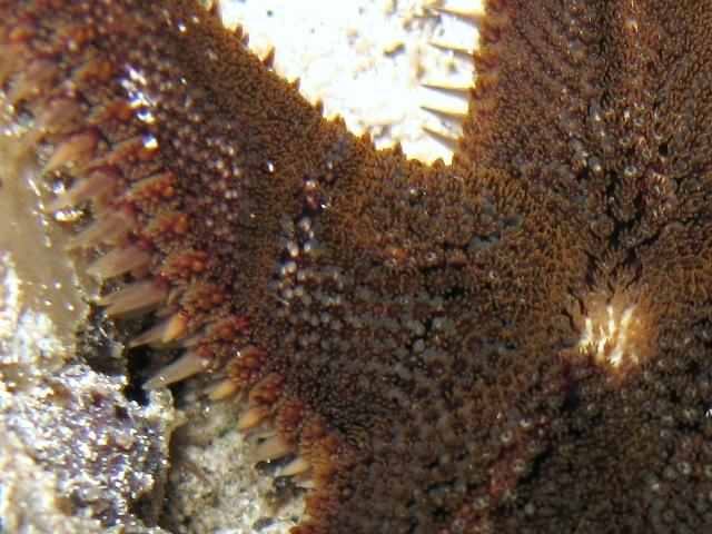 Astropecten spinulosus (Philippi, 1837)