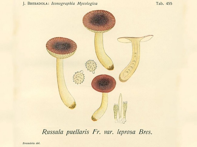 Russula alnetorum Romagn. [R. leprosa (Bres.) Crawshay]