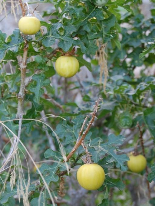 Solanum linnaeanum (=Solanum sodomaeum) / Pomo di Sodoma