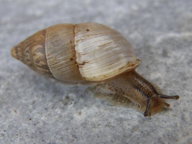 Chondrula pupa