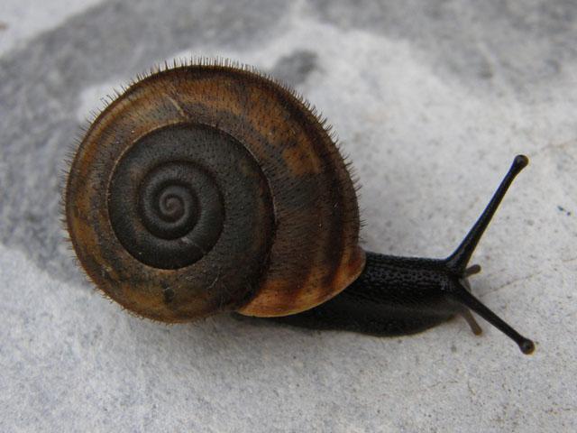 Chilostoma (Campylaea) planospira macrostoma (Rossmässler)