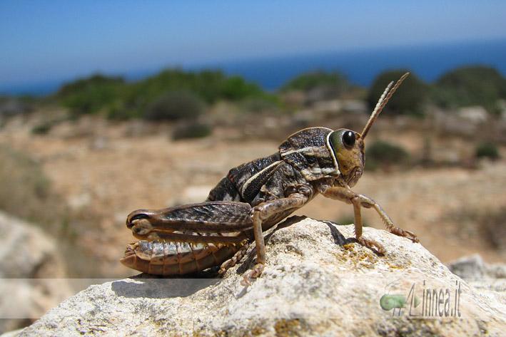 Insetti endemici italiani: Pamphagus ortolaniae e marmoratus