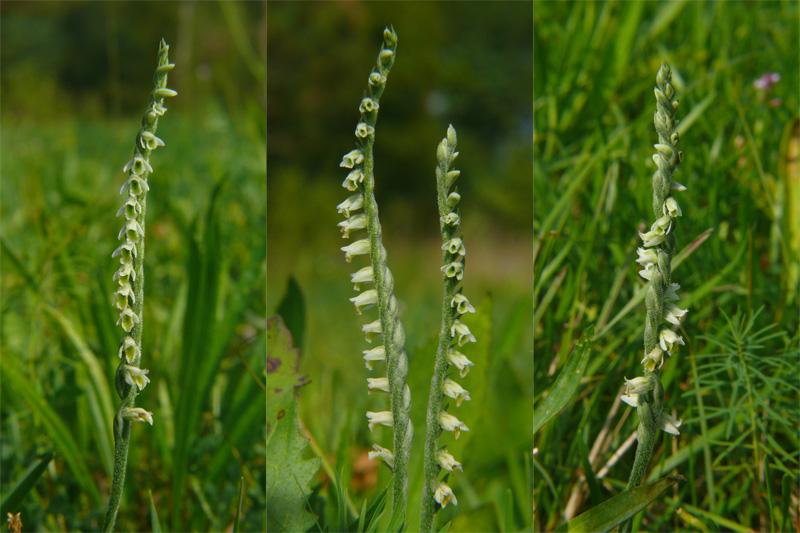 Spiranthes spiralis, l''ultima orchidea della stagione
