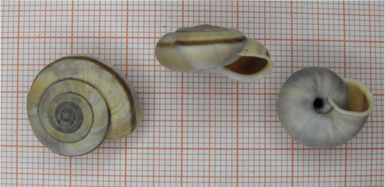 Chilostoma cingulatum frigidissimum (Paulucci, 1881)