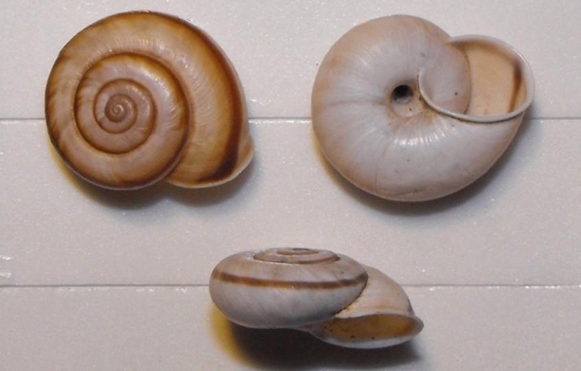 Chilostoma cingulatum cingulatum (Studer, 1820)