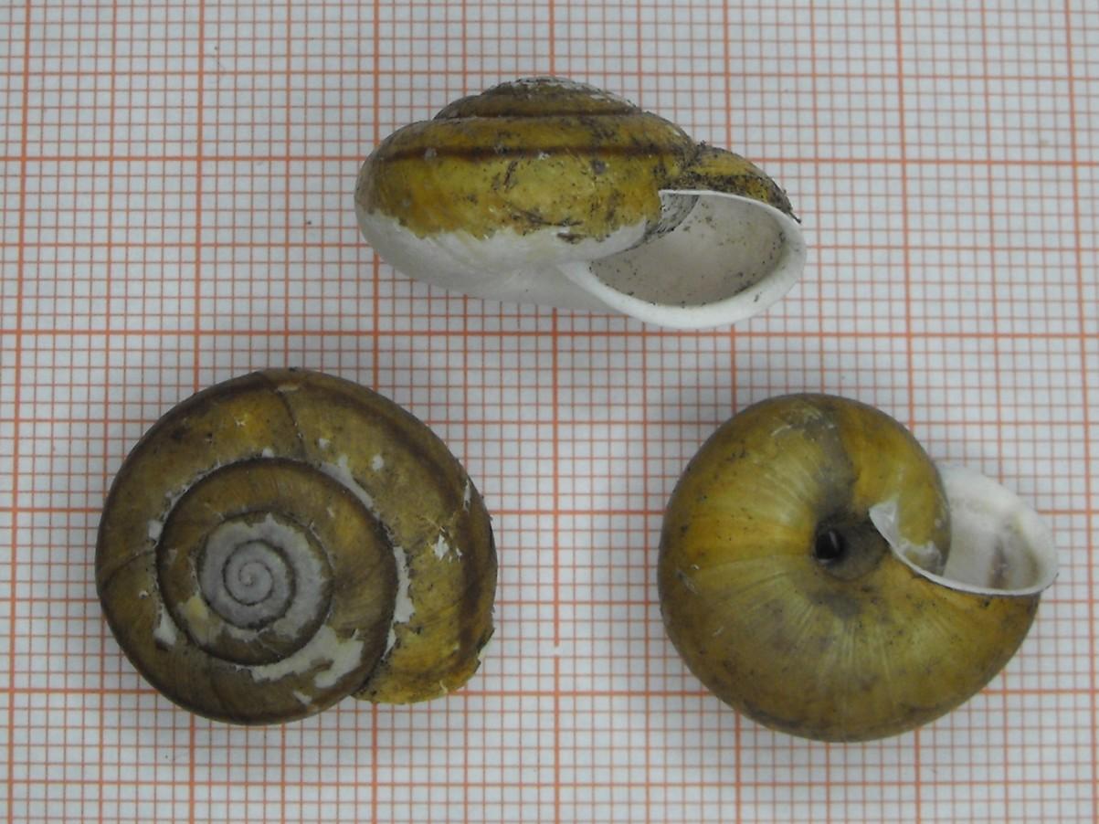 Chilostoma zonatum flavovirens (Dumont & Mortillet, 1852)