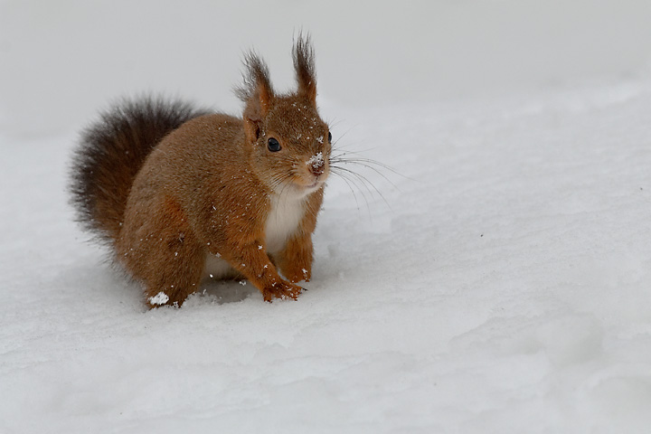 Scoiattolo sulla neve