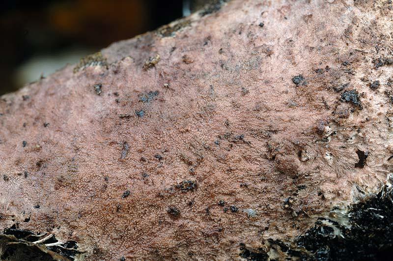 Crosta rosata da det. - foto 6149 (Steccherinum fimbriatum)