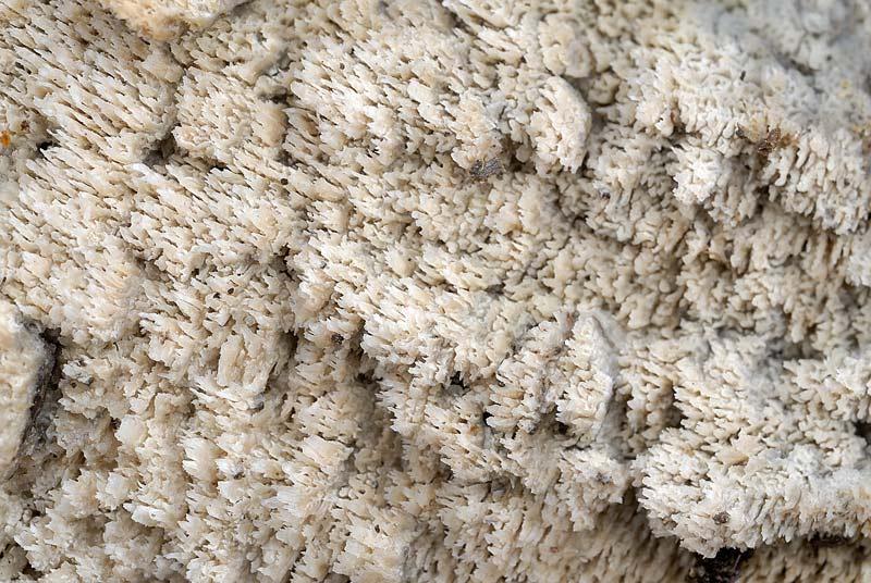 Potrà essere ancora  Phlebia rufa? (Schizopora paradoxa)