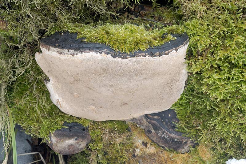Un Ganoderma se siete d''accordo - foto 3025 (Phellinus sp.)