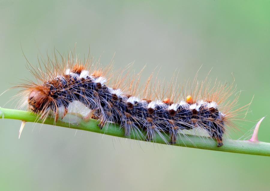 trovato su foglia di rovo - Euproctis chrysorrhoea