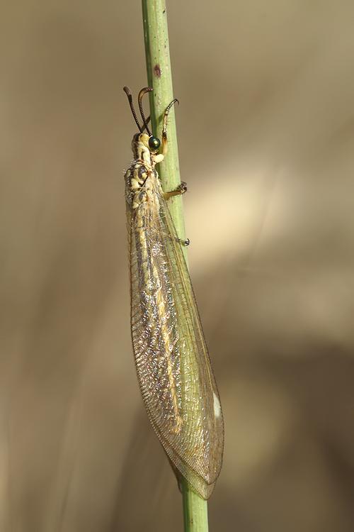 Creoleon & Myrmecaelurus [Myrmeleontidae da identificare]