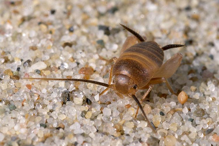 Piccolo ortottero siculo: Myrmecophilus sp.