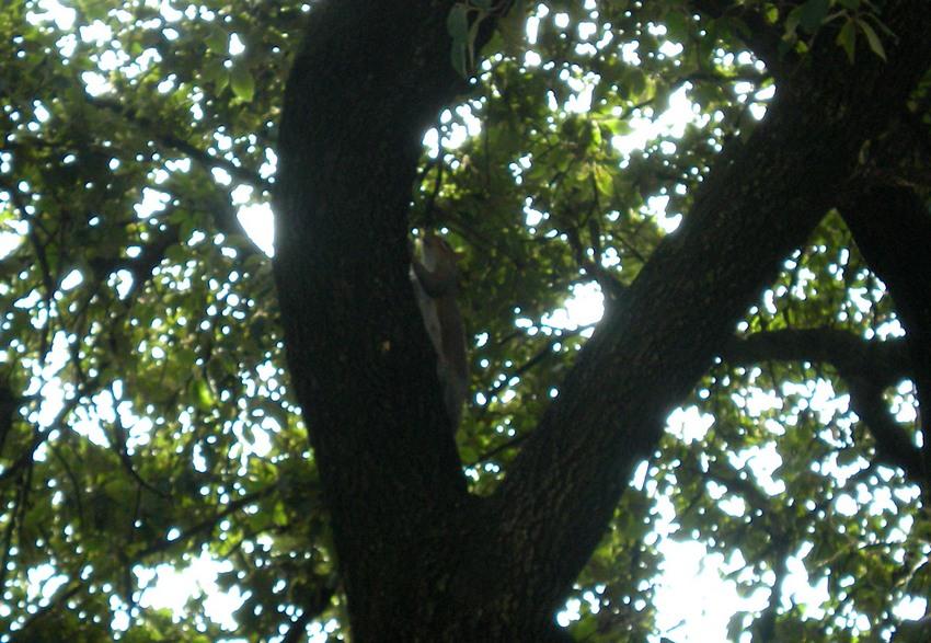 Scoiattolo grigio, Sciurus carolinensis. Umbria