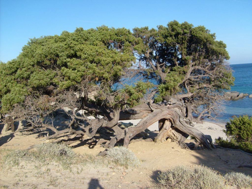 Catálogo de flora autóctona Juniperus.JPG_200899112251_juniperus