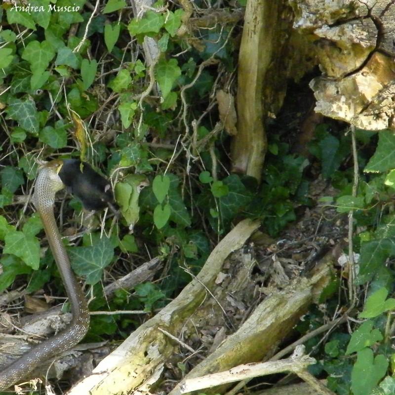 Serpente cervone con sorpresina forum natura for Serpente cervone
