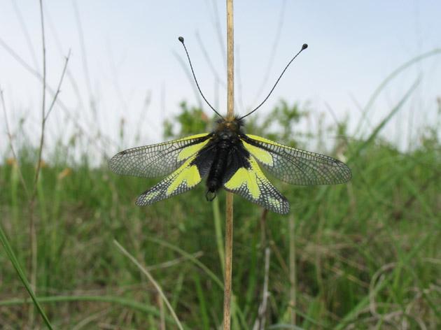 Che insetto è? - Libelloides coccajus (maschio)