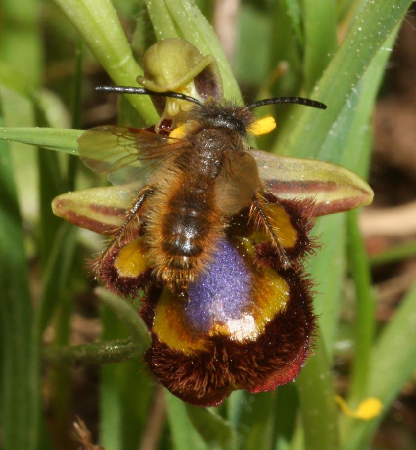 Pseudocopulazione di Dasyscolia ciliata su Ophrys speculum.
