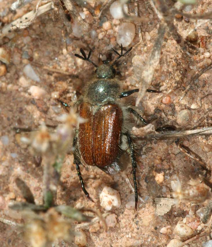 Maggiolino - Hemichaetoplia pallidipennis
