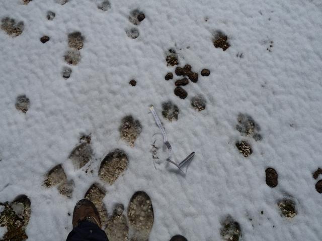Impronte branco di lupi
