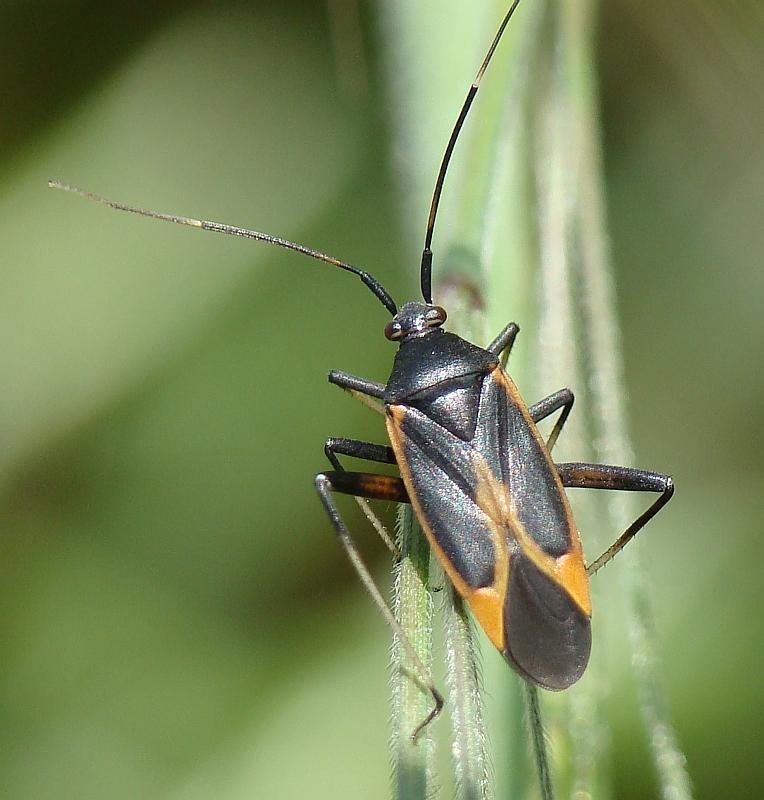Calocoris nemoralis e sue forme di colore
