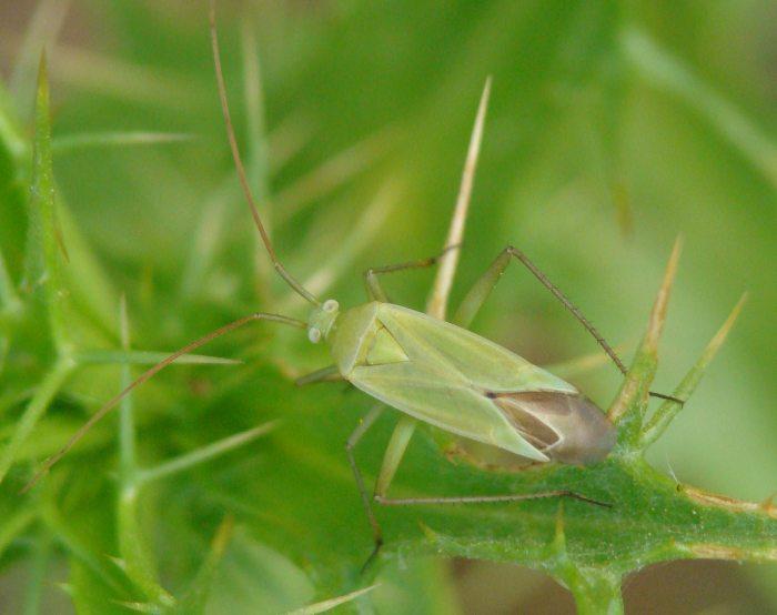 Miridae: Thiomiris sulphureus dell''Algarve (P)