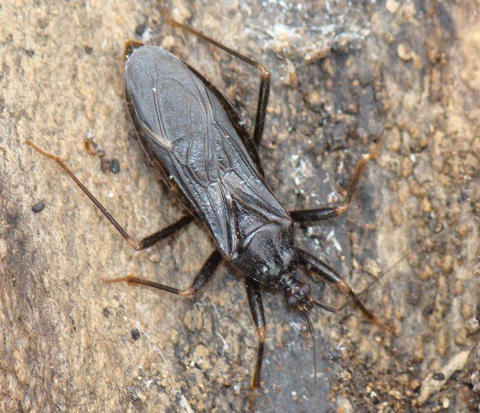 Reduviidae: Reduvius sp... MISTERO portoghese!!