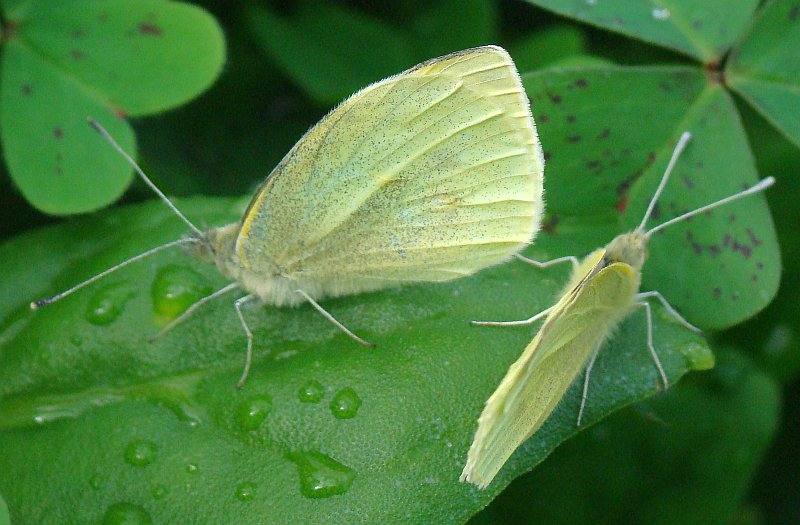 da identificare - Pieris sp.