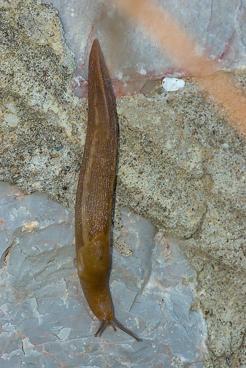 Un Limax del corsicus-gruppo da Roselle (GR)