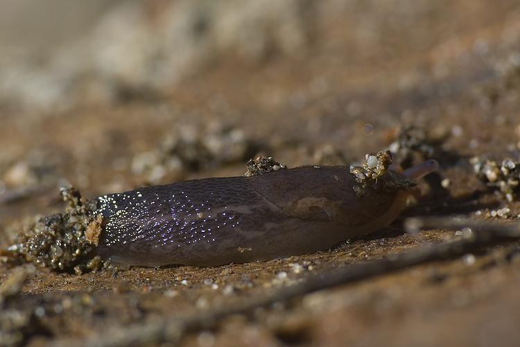 L. corsicus-gruppo del retroduna di Principina a Mare (GR)