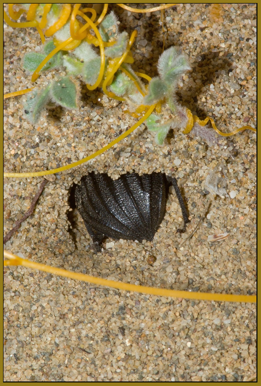 Pimelia bipunctata -  lo spazzino delle spiagge