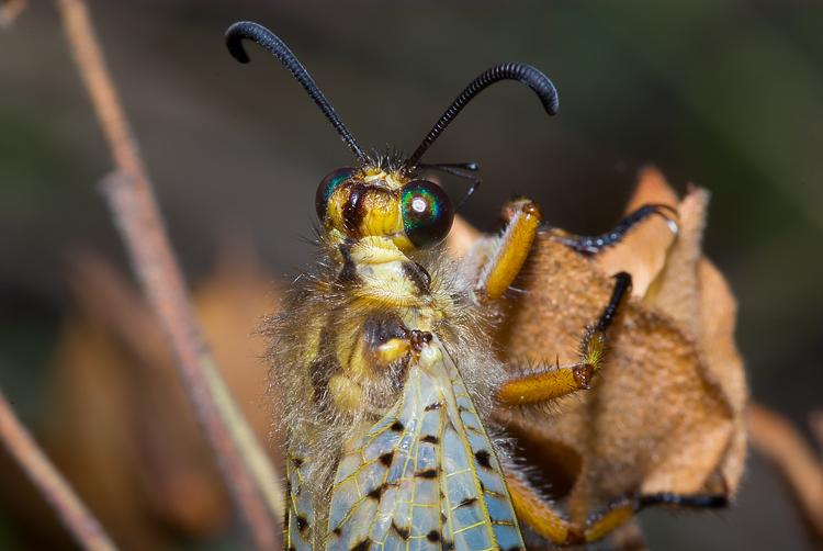 Non so proprio dove iniziare...Palpares libelluloides