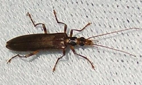 Riconoscimento delle Oedemera e Anogcodes  italiane (Oedemeridae)